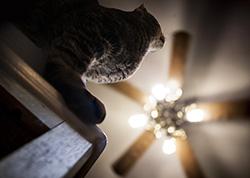 Cailing Fan Cat